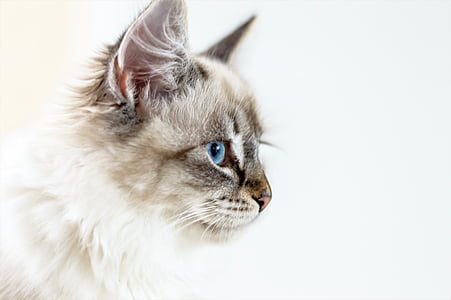 white and gray Persian cat facing right painting