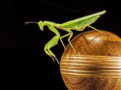 praying mantis on brown ball