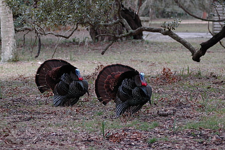 two gray and brown turkey
