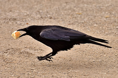 black crow biting bread