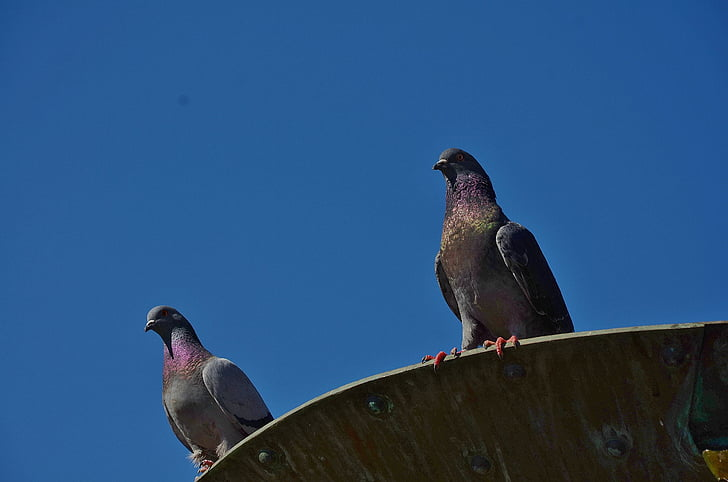 photography of two gray pigeons