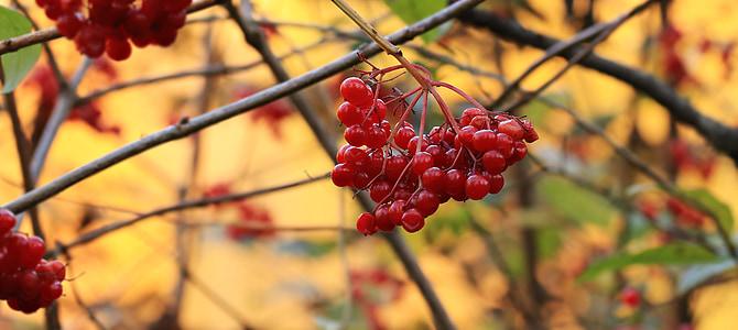 macro photography of red cherries
