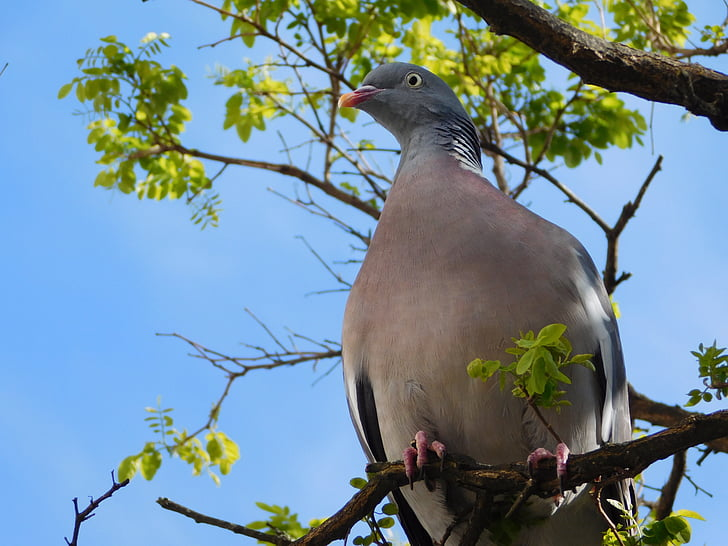 gray pigeon on tree branch