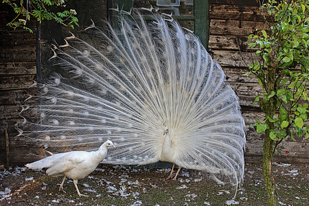 white peacock and peahen