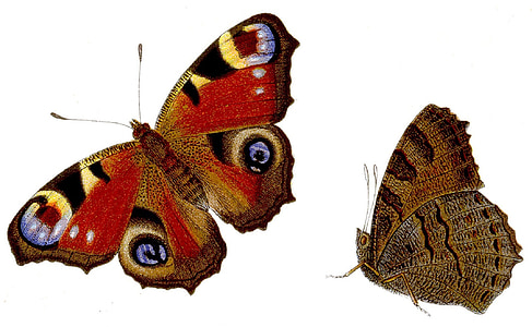 two red and brown butterflies
