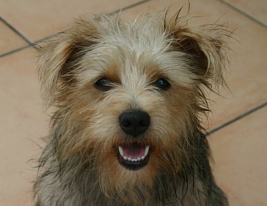adult tan and black Yorkshire terrier