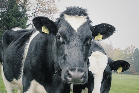 two white-and-black cows