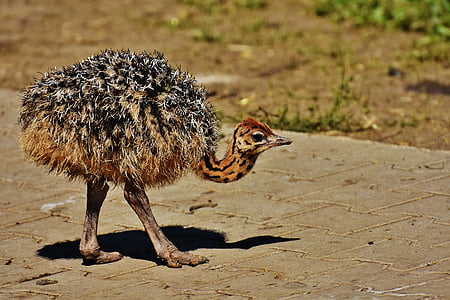brown and black ostrich