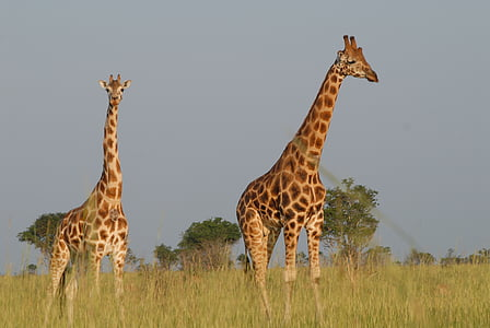 photo of two brown giraffes