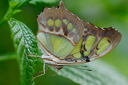 close-up photo of malachite butterfly on green leaf