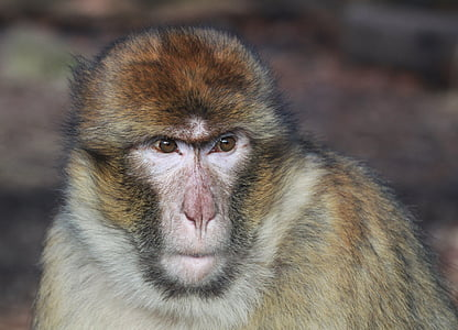 closeup photo of gray monkey