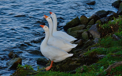 three white ducks beside body of water