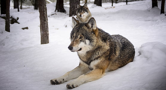 two brown wolves in snow terrain