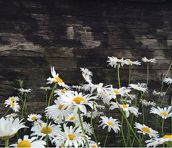 photo og white daisies with gray wooden background