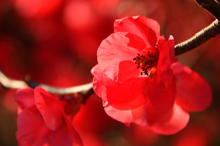 red cherry blossoms in bloom macro photo