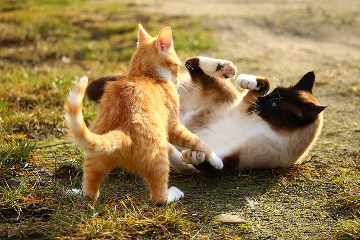 Siamese cat and orange tabby cat