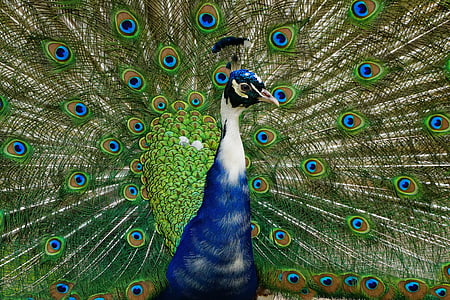 blue and green peacock spreading his tail