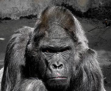 photo of black gorilla
