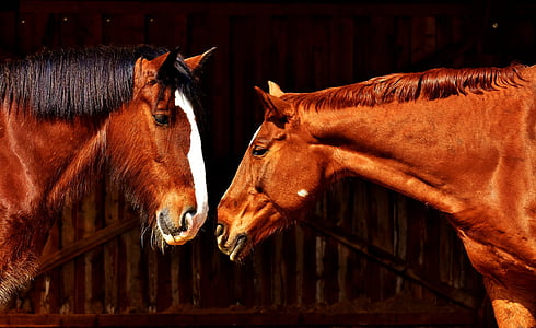 two brown horses facing face to face