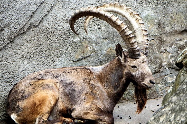 brown mountain goat sitting between r