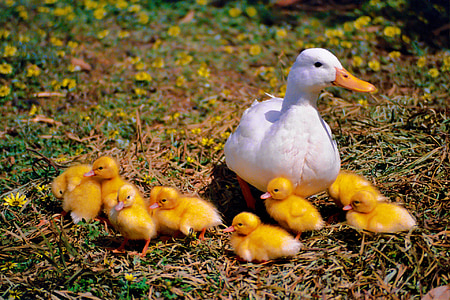 white duck with ducklings