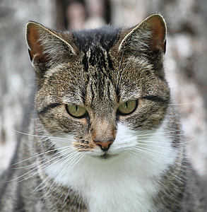 gray tabby cat closeup photography