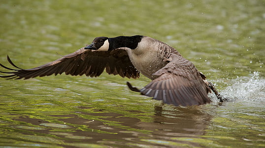 goose, wing, water, lake, bank, fly
