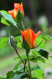 selective focus photography of orange rose flower