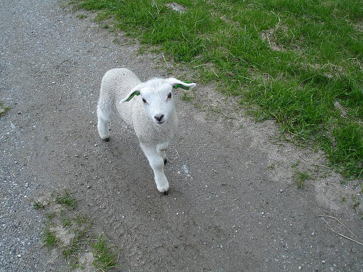 white goat kid walking through path