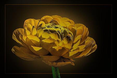 yellow ranunculus flower painting