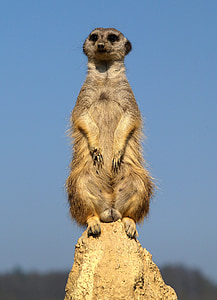 focus photo of Meerkat sitting on gray rock