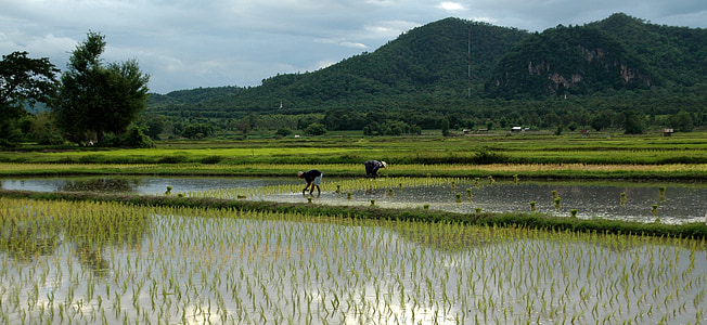people on rice field at daytime