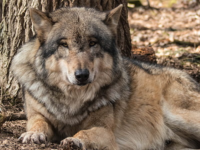 black and brown Wolf lying on brown soil