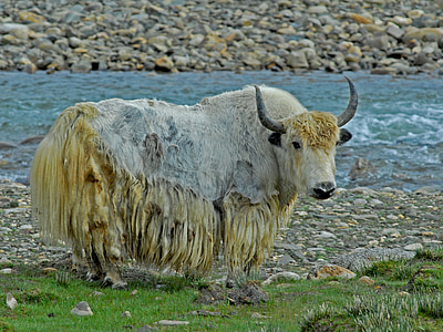 white and yellow yak standing beside river