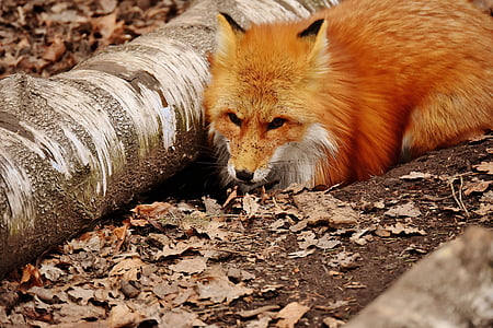 fox sitting beside drift wood