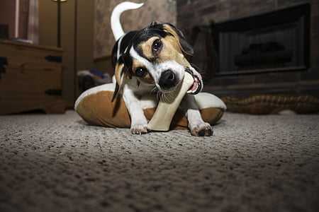 Jack Russell biting bone on floor