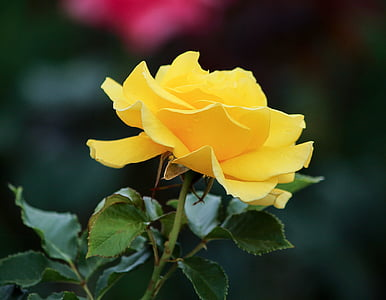closeup photography of yellow rose flower