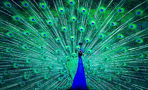green and blue peafowl