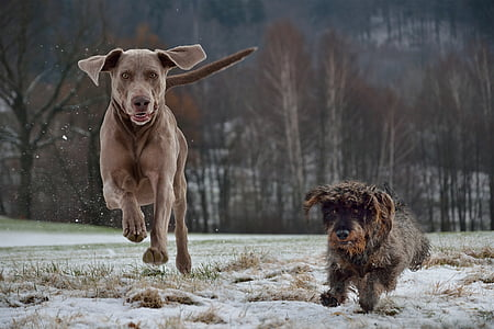 medium brown dog and small wire-haired dog running on snowfield during daytime