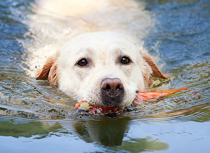 adult yellow Labrador retriever on body of water