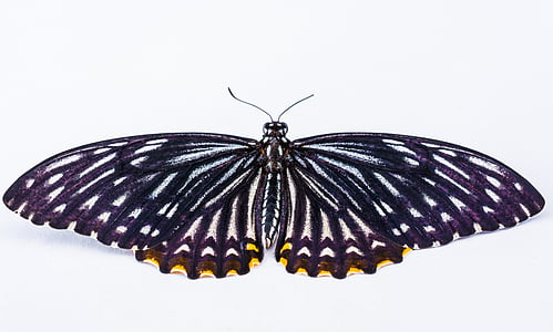 yellow spotted black and white butterfly