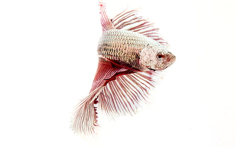 close-up photography of gray and red betta fish