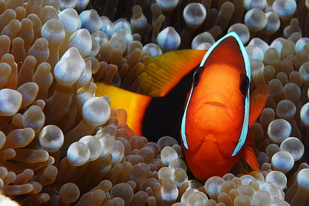 clown fish leaning on beige coral