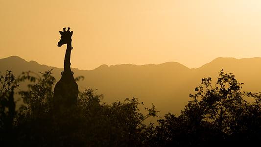 silhoutte photography of giraffe beside trees