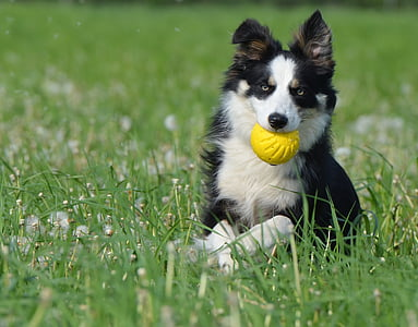 photo of black border collie biting yellow ball