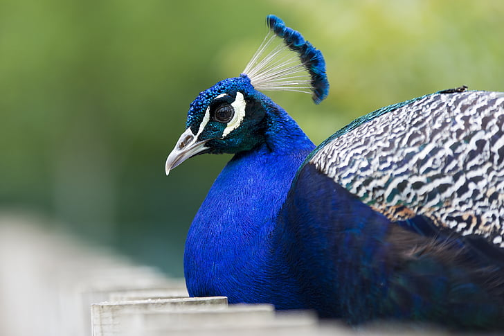 blue and black peacock