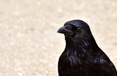 selective focus photography of crow