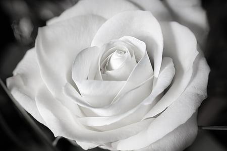 closeup photo of rose