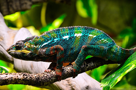 shallow focus photography of chameleon