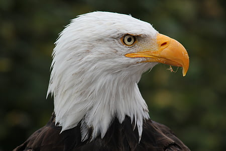 shallow focus photography of white and black eagle